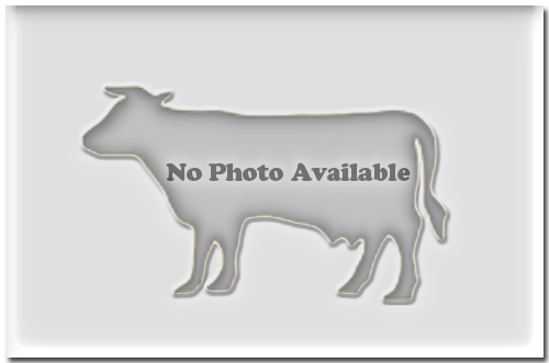 Blank Cow Image