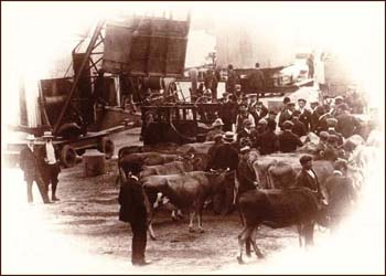 Cattle export through St Helier harbour BOOK 3