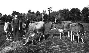 Jersey Cows 1893 BOOK 4
